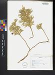 Dendrolycopodium obscurum
