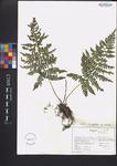 Dryopteris spinulosa var. intermedia