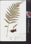 Athyrium asplenioides