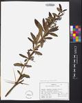 Berberis julianae