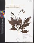 Catalpa longissima