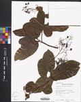 Ehretia tinifolia