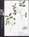 Euonymus americanus