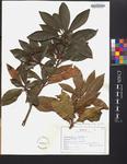 Kalmia latifolia