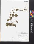 Acalypha alopecuroidea