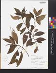 Acalypha virgata