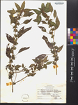 Acalypha rhomboidea