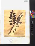 Robinia pseudo-acacia
