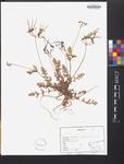 Erodium ciconium