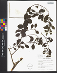 Dendropemon pauciflorus