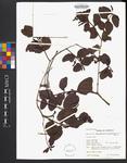 Dipholis salicifolia