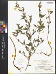 Cuphea viscosissima