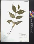 Malpighia biflora