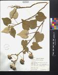 Abutilon pauciflora