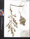 Bastardia viscosa var. parviflora