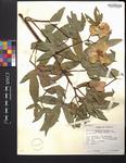 Gossypium hirsutum var. marie-galante