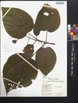 Heterotrichum umbellatum