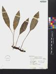 Elaphoglossum maxonii